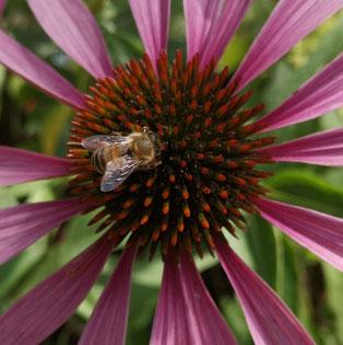 Honigbiene auf Echinacea
