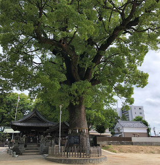 御神木の楠