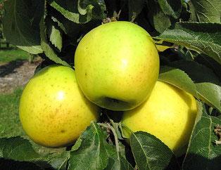 колоновидная яблоня Диалог