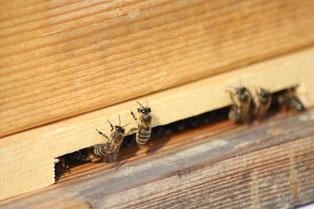 Bei den ersten warmen Sonnenstrahlen wagen sich die Winterbienen aus dem Bienenstock...