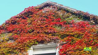 Am oberen Rand der Fensternische sieht man die Spuren der Haftscheiben des Wilden Weins aus früheren Jahren von K.D. Michaelis