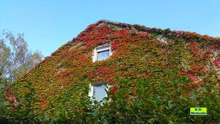 Komplette Hausfassade mit Wildem Wein bewachsen erstrahlt in roter Herbstfärbung von K.D. Michaelis