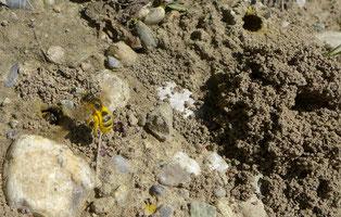 Über zwei Drittel der Wildbienenarten benötigen offene Bodenstellen, teils eben, teils senkrecht, um ihre Nester bauen zu können. Bild von Wildbienen auf einem Feldweg bei Ebersecken. © Manfred Steffen
