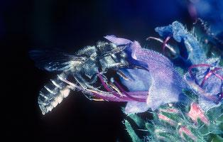 Die Natternkopf-Mauerbiene ist auf Natterkopf angewiesen, eine prächtige Wlldstaude die auf Ruderalstandorten bestens gedeiht. © Andreas Müller