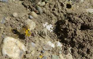 Verschiedene Wildbienenarten benötigen oft nur eine einzelne oder wenige Wildblumenarten, die ihnen für den Nachwuchs den passenden Nektar oder Pollen liefern können. © Manfred Steffen