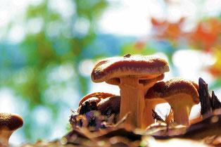 Last mushrooms at Indian Summer