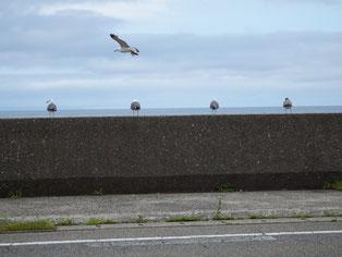 出雲崎の防波堤。飛ぶウミネコ、並ぶウミネコ