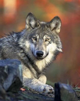 Das ist ein Wolf