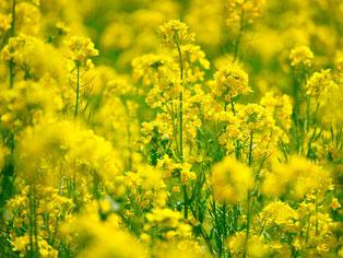 菜の花の風景