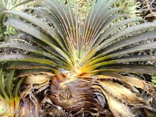 Dyckia estevesii in Kultur / in cultivation / em cultivação