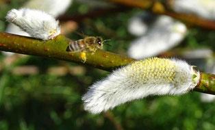 Zum Fototermin ist keine Biene erschienen :-)