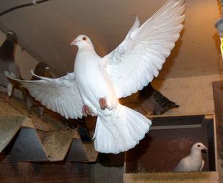 Weisse Taube im Schlag