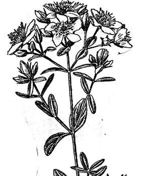 Johanniskraut kennt man schon seit der Antike.