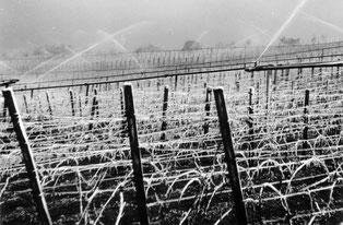Frostberegnung in der Reblage Gaisberg im Unterdorf im Mai 1960