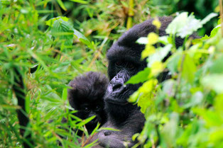 Klimaneutral Reisen - Klimaprojekt Ruanda: Lebensraum Berggorillas