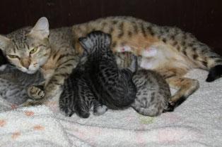 саванна F3C с котятами саваннами F4SBT
