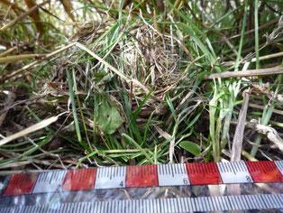 枯葉と緑色の葉を使って造られた地表巣