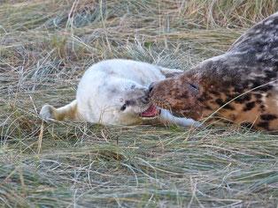 Dans l'intimité des Phoques gris