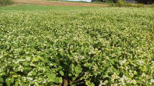 有機農業のソバ作り