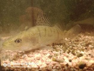 Fische muscheln teiche forschung fischzucht for Fische naturteich