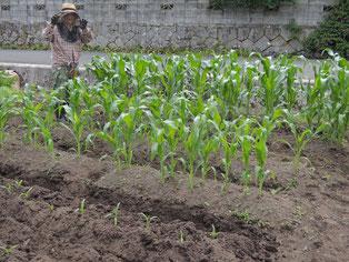 宿の前のトウモロコシ畑