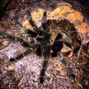 0.1 Grammostola iheringi adult female Spinne Spinnen Vogelspinne Vogelspinnen Spider Spiders Birdspider Birdspiders Tarantula Tarantulas