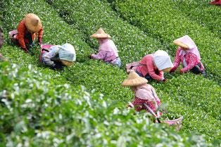 羽唐阿里山手採高山茶