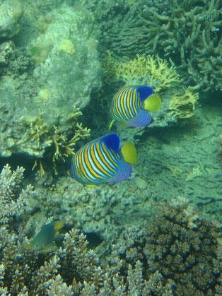 snorkeling, Caqalai, Fiji fish
