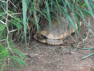 tortoise at Zoológico El Refugio, Samaipata, Bolivia