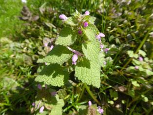 Würz- und Heilkraut Gundermann mit blau-violetten Blüten