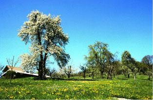 Sowohl junge als auch über 100 Jahre alte Bäume prägen die Reichenbacher Streuobstwiesen