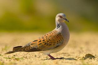 Turteltaube Vogel des Jahres 2020 Natur des Jahres 2020 NABU Düren