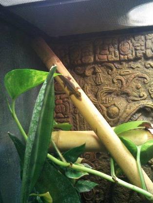 Lygodactylus picturatus