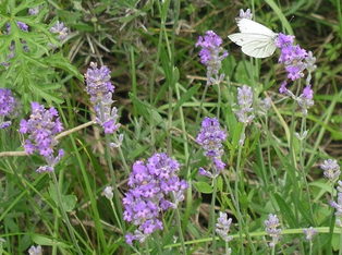 Wiese, Wildgaren, Kräuterwiese, Blumenwiese, Vorgarten, Garten, Bienen, Bienenhotel, Wildbienen, Monokultur, Nutzpflanzen, Grundstück