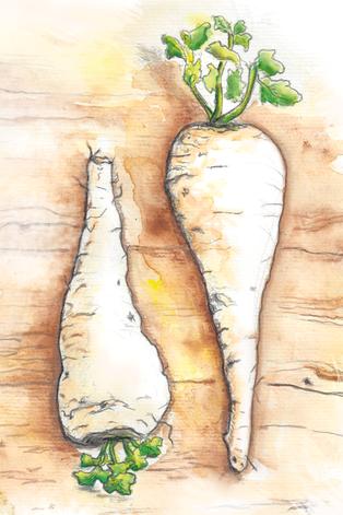 Illustration von zwei Pastinaken wie im Kinderbuch Die Kusinusis im Gemüsebeet