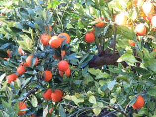 Oranges de sicile coop des  galline felici