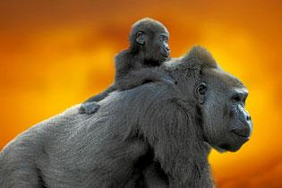 Gorillajunges auf dem Rücken der Mutter