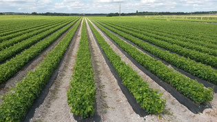 Plant de la pépinière viticole