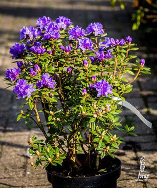 Rhododendron russatum-Gletschernacht