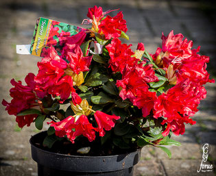 Rhododendron repens_ Scarlet Wonder