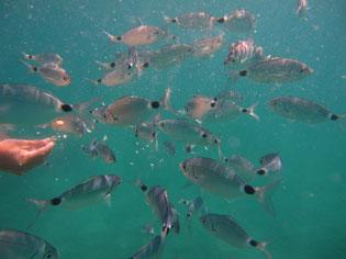 Urlaub im Traumferienhaus Bocca dell' Oro - Schnorcheln und Fische füttern