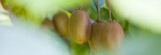 Coltivazione del kiwi, Aquileia