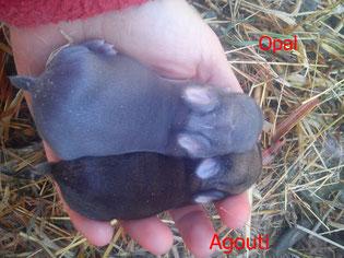 Agouti /  Opal (Agouti diluido / Agouti Azul)
