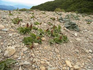 吹き通しのユウバリソウとユキバヒゴダイの咲き終わり
