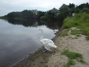 野鳥の楽園、ウトナイ湖 白鳥さん。こんにちは