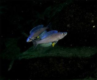Циприхромис, Циприхромил лемптозома, Cyprichromis, Cyprichromis leptosoma, Cyprichromis leptosoma males