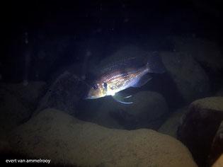 gnathochromis, gnathochromis permaxillaris