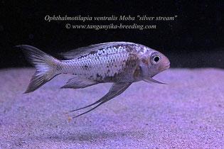 """Ophthalmotilapia, Ophthalmotilapia ventralis, Ophthalmotilapia ventralis Moba, Ophthalmotilapia ventralis Moba """"silver stream"""""""