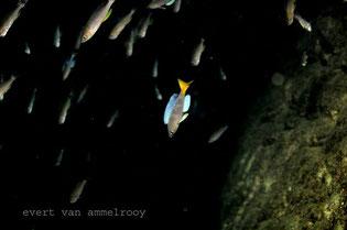 cyprichromis kigoma