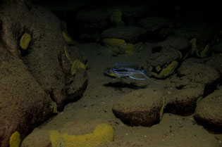 Bentochromis Tricot